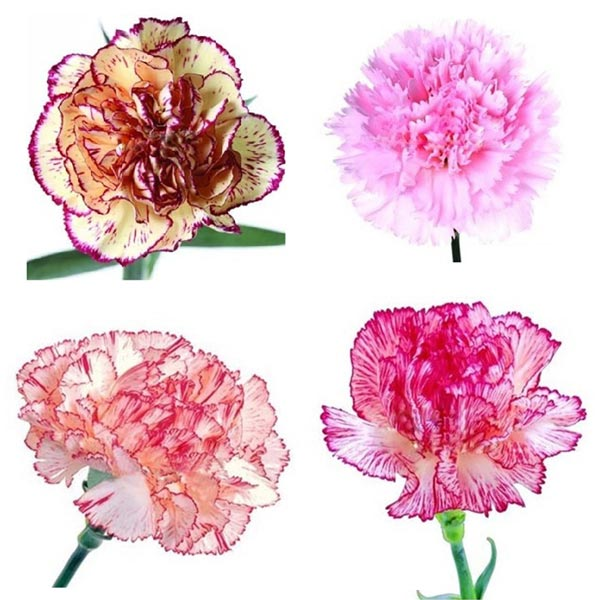 30 PCS Hybrid Sweet-Scented Carnation Seeds