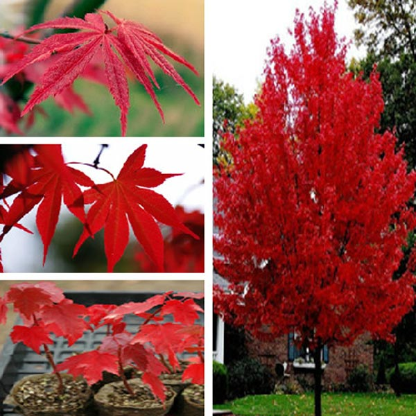 American Red Maple Tree Seeds 5PCS