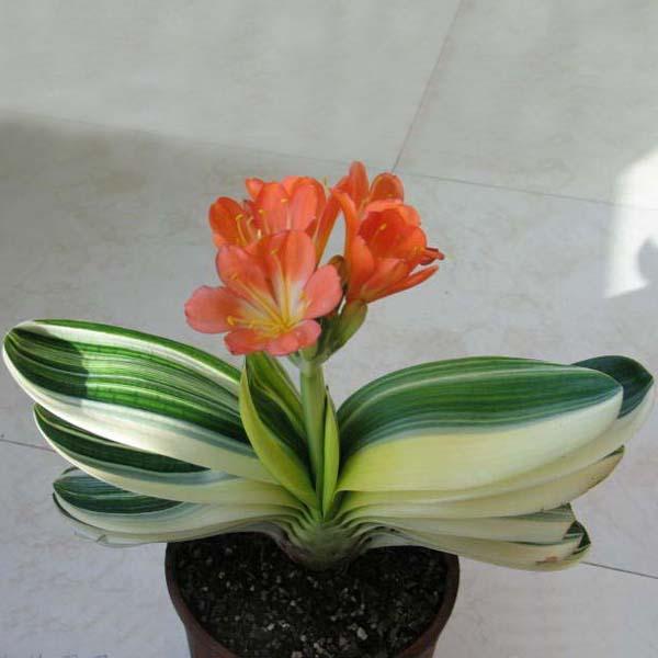 5PCS Bush Lily Clivia Seeds Living Room Plant
