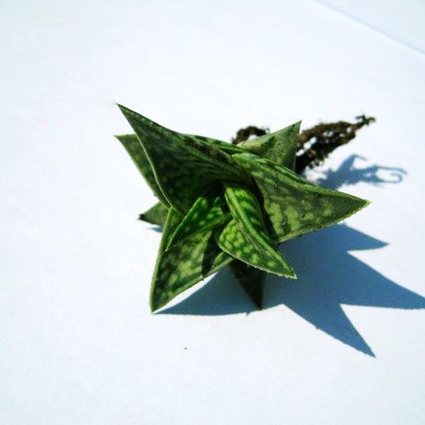 40pcs Aloe Variegate Seeds Succulent Plants Desktop Potting