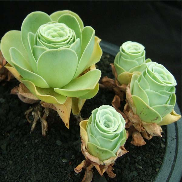 150pcs Greenovia Seeds Garden Succulent Plants Potting