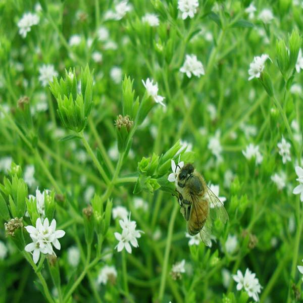 50pcs Stevia Rebaudiana Seeds Sweetleaf Natural Sweetener