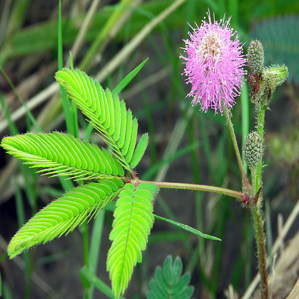 Herb Sensitive Pink Moving Hostilis Mimosa Pudica Seeds Plant