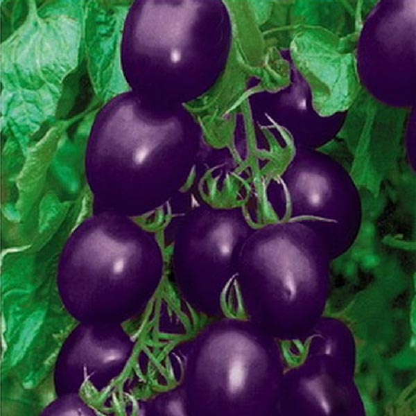 20 Seeds Purple Cherry Tomato Organic Fruit Vegetable Plant