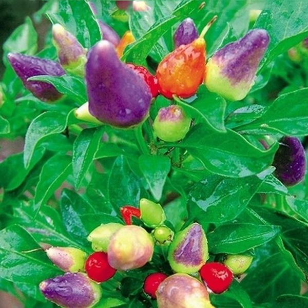 Colorful Ornamental Pepper Seed Vegetable Plant Seed